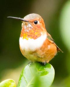 Santa Cruz Island Allen's Hummingbird