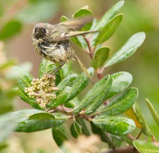 Santa Cruz Orange-crowned Warbler