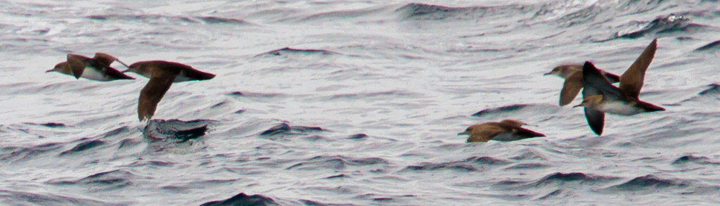 Black-vented shearwater. Two proposed explanations for the aptly named shearwater are illustrated in this photo: the 2nd bird 'shearing' water with it's left wing tip and the 3rd bird 'shearing' waves by flying low in the trough between waves.